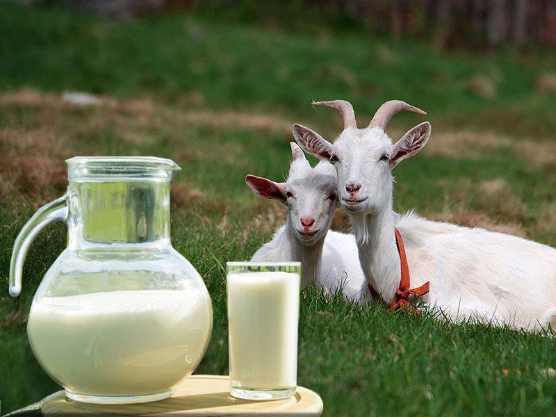 Чем полезен козий сыр