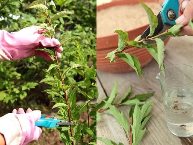 Вегетативное размножение декоративных растений